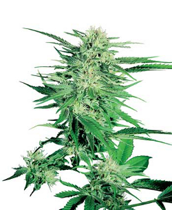 sensi seeds big bud femenised cannabis marijuana