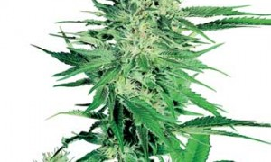 Big Bud – Sensi Seeds