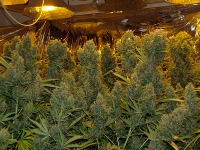 cannabis factory plants marijuana buds belfast