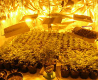 cannabis factory uk marijuana