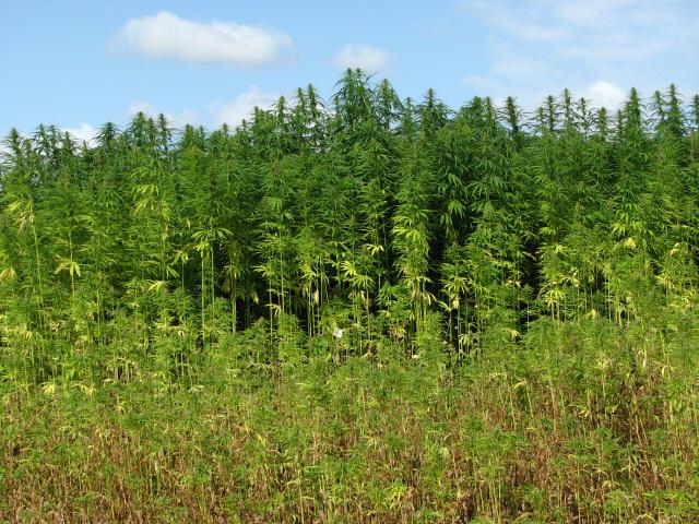 field of hemp plants