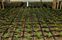 brisbane cannabis plants thousands