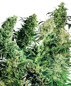 indoor cananbis seeds sensi seedbank indica sativa