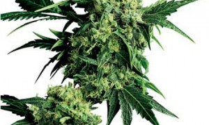 Mr. Nice – G-13 x HP – Sensi Seeds