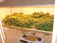 cannabis cultivation marijuana