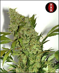 chronic serious seeds cannabis