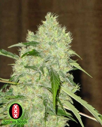 bubble gum serious seeds cannabis