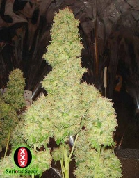 white russian serious seeds cannabis