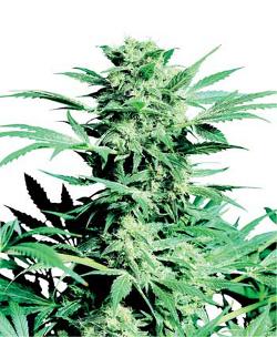 shiva skunk feminised marijuana cannabis strain